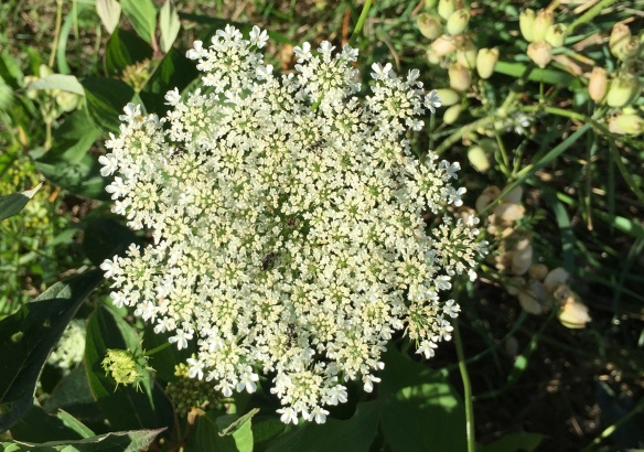A close-up of Queen Anne's Lace (one of the few flowers I can always remember the name of)!