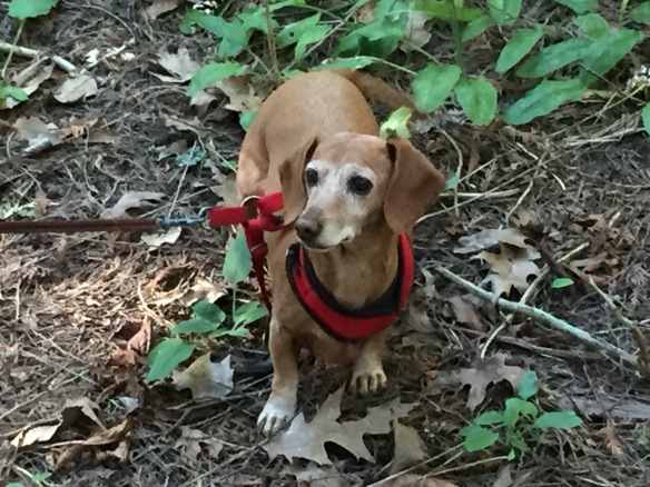 Little Maddie in the woods. Her hearing isn't what it used to be, but that nose of hers is still going strong.
