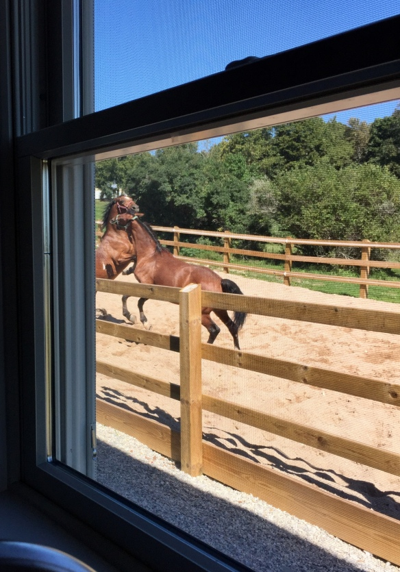 I am never tiring of watching the antics of the horses next door! They are VERY serious about their play time.