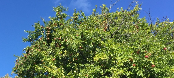 There were several apple trees along Turkey Hill (Spring Street) - all full of ripe fruit!