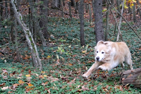 """. . . many times that would be followed by one of his famous """"Bear zooms"""" through the woods at full speed."""