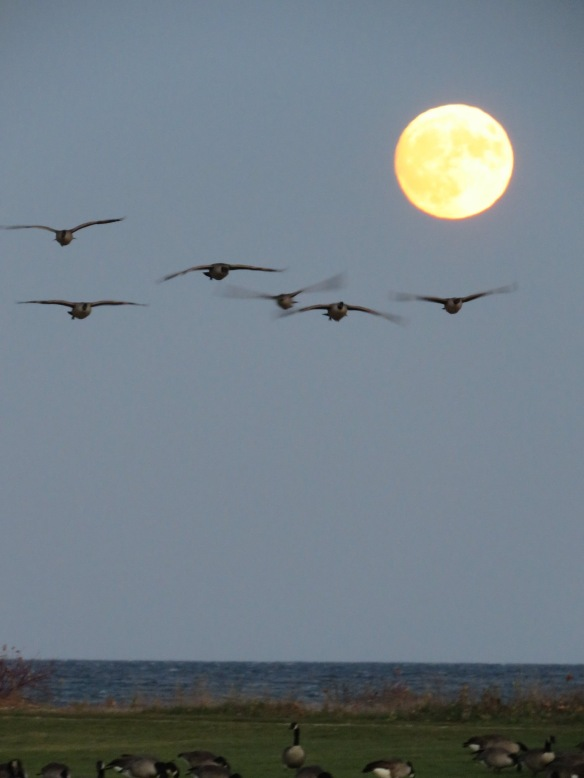 An early evening shot of geese flying into Mission Point, backlit by that gorgeous full moon.