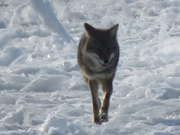A lone coyote comes off the west end ice. (Photo: Clark Bloswick)